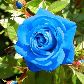 Sea blue roses 💙💙