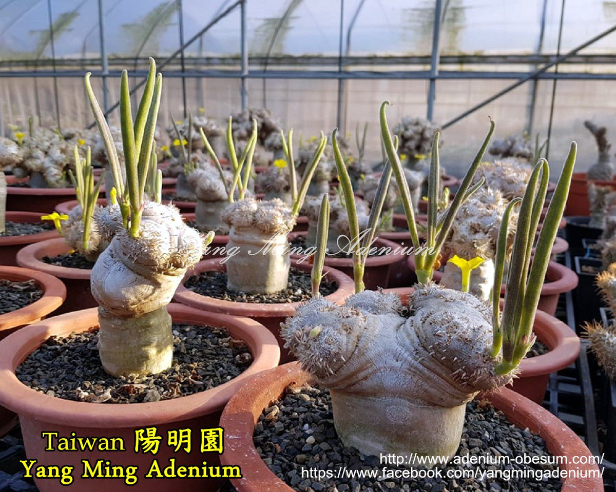 Yang Ming Adenium Nursery Of Taiwan On Twitter Pachypodium Brevicaule Succulents Seeds
