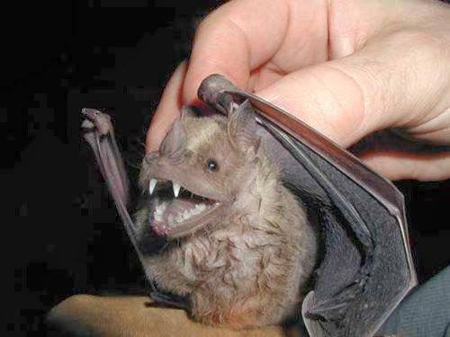 Santa Rosa | Hallaron murciélago con rabia y procederán con el bloqueo antirrábico