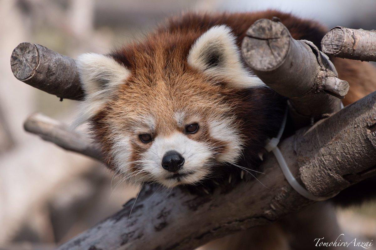 レッサーパンダの威嚇撮りたい(´ω`)