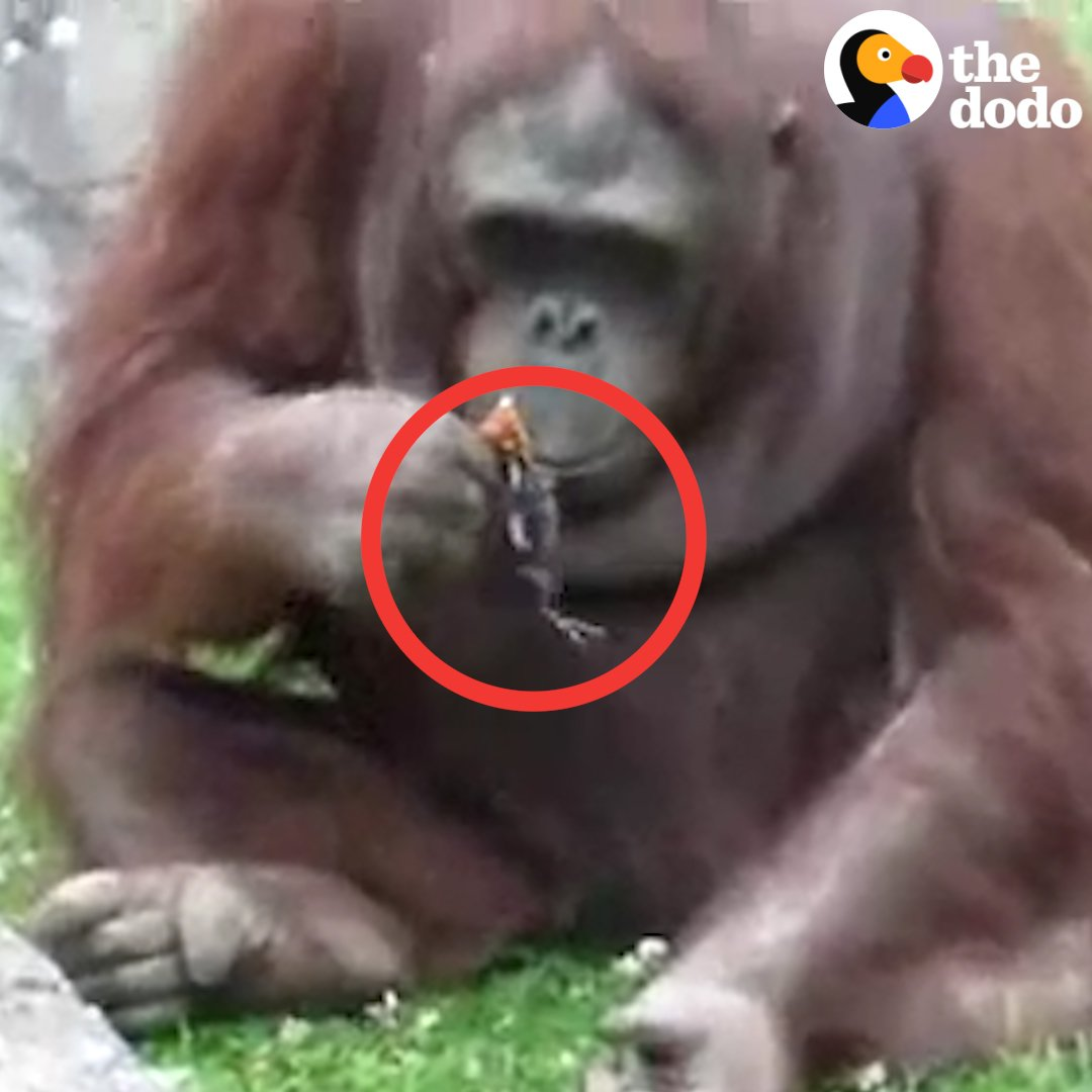 This orangutan saw a baby bird trapped in his zoo enclosure — and what he did next was so compassionate ❤️