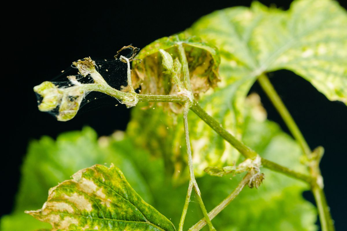 how to get rid of spider mites on outdoor plants