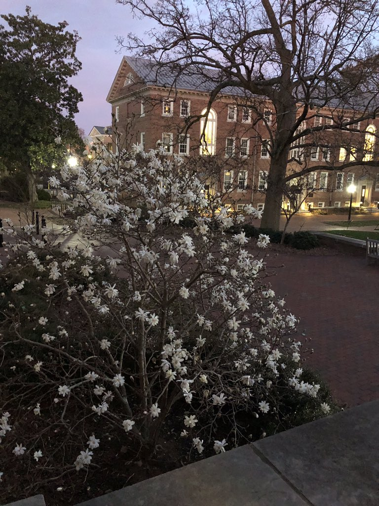 It's not snow you are seeing on @UNC campus, but flowering trees! Beautiful 70's weather with happy voices crossing Polk Place at dusk. #GDTBATH https://t.co/l6yisMXCeN
