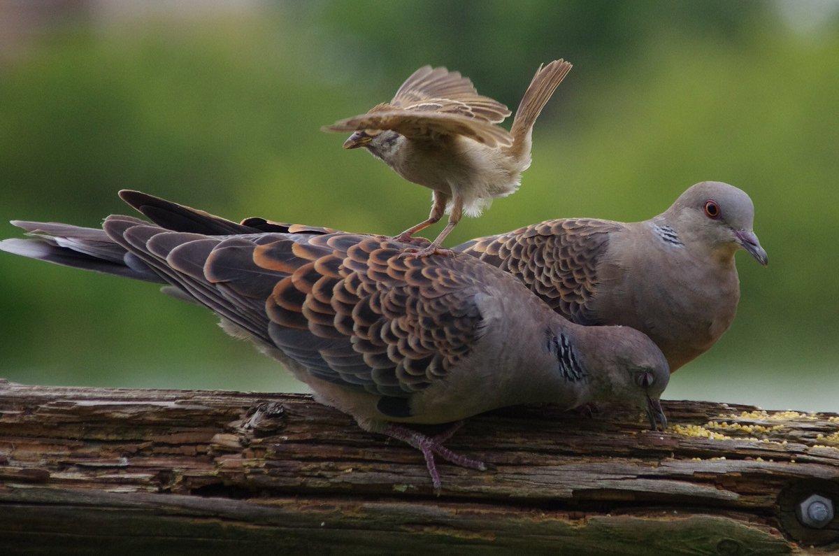 調子に乗ってキジバトをからかっていて最後に怒られるスズメ  #雀 #スズメ #すずめ #sparrow