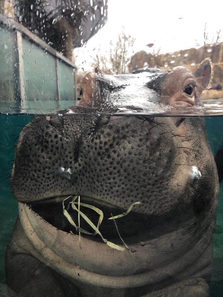 Chunky chunky hippo. Fiona weighs 672lbs...