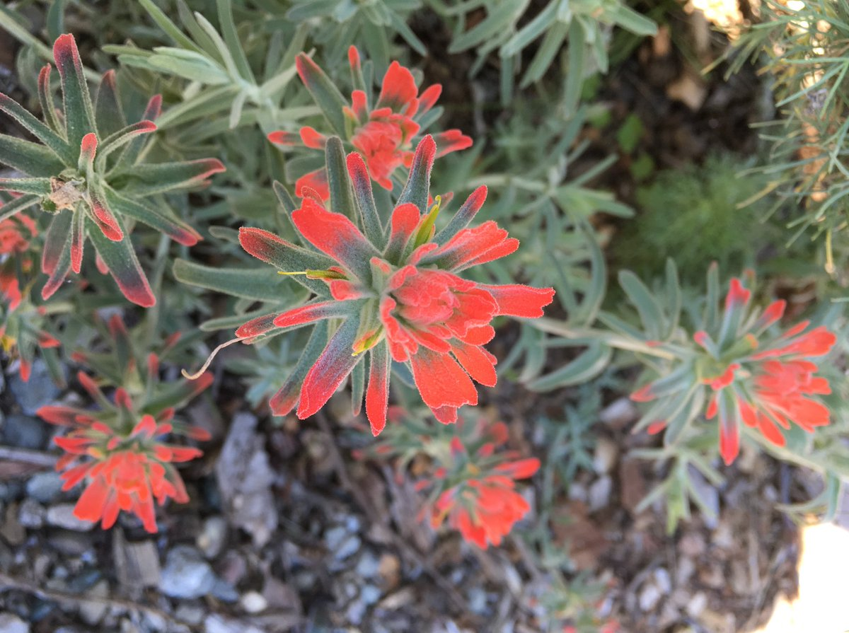 Indian Paintbrushes, Genus Castilleja, Are An Important Component Of The  California Flora, But Are Hard To Grow In Captivity Due To Being  Hemiparasitic On ...