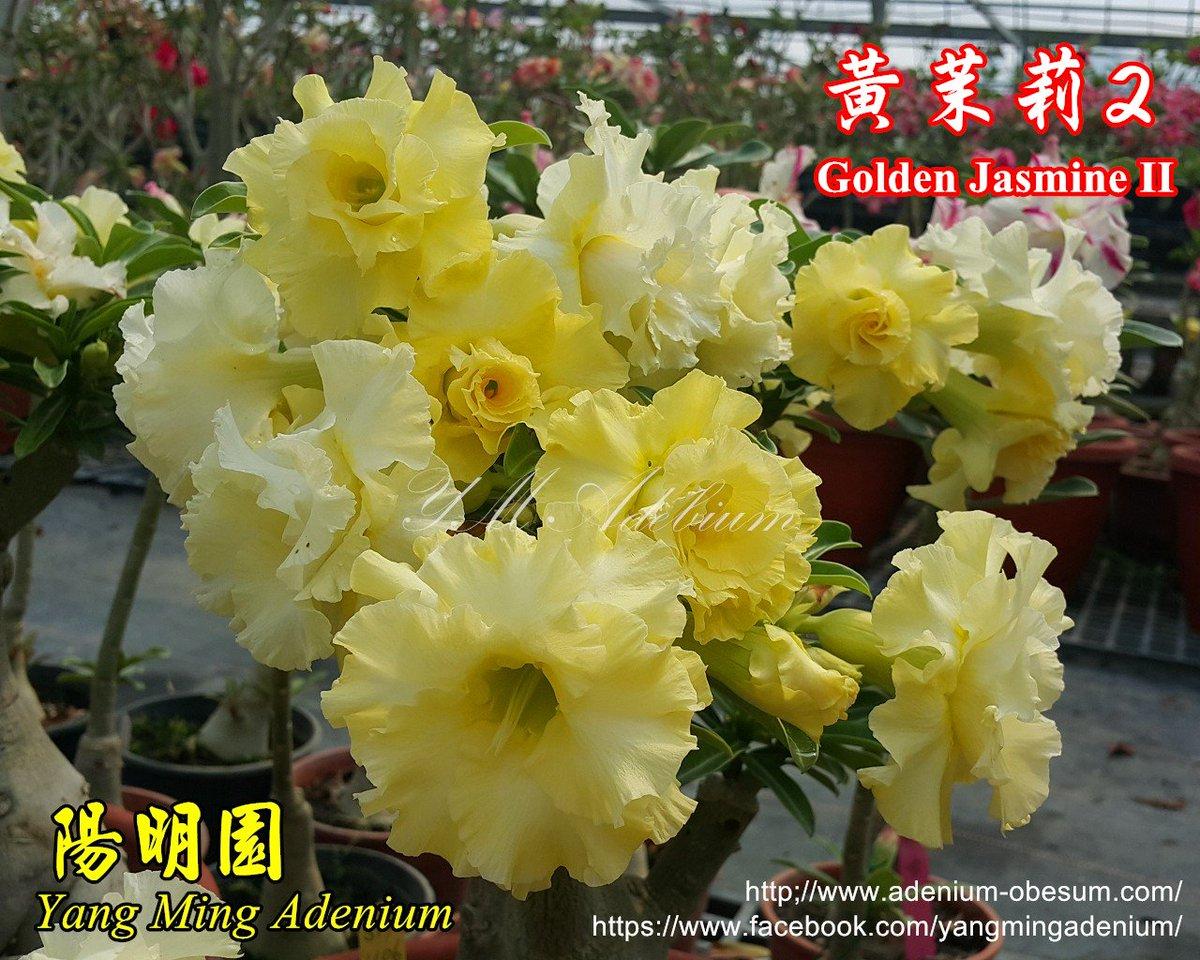 Taiwan yang ming adenium nursery on twitter variety name yellow taiwan yang ming adenium nursery on twitter variety name yellow jasmine ii httpst6hemz6d2bd adenium multipetals yellow izmirmasajfo