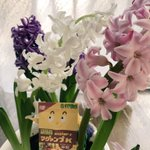 全色開花🌸 香りもよくていやされます。 #マグァンプくんの冬休み  #マグァンプ #ヒヤシンス  #ハイポネックス写真部