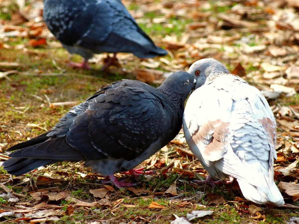 求愛 行動 鳩