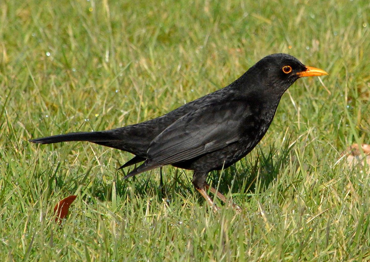 Smart looking blackbird in the sunshine today.