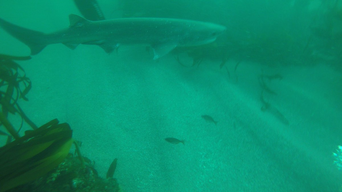 #BluePlanet2 is showing a place I've actually dived in!!! #simonstown #cowshark <br>http://pic.twitter.com/YusyO5lJx9