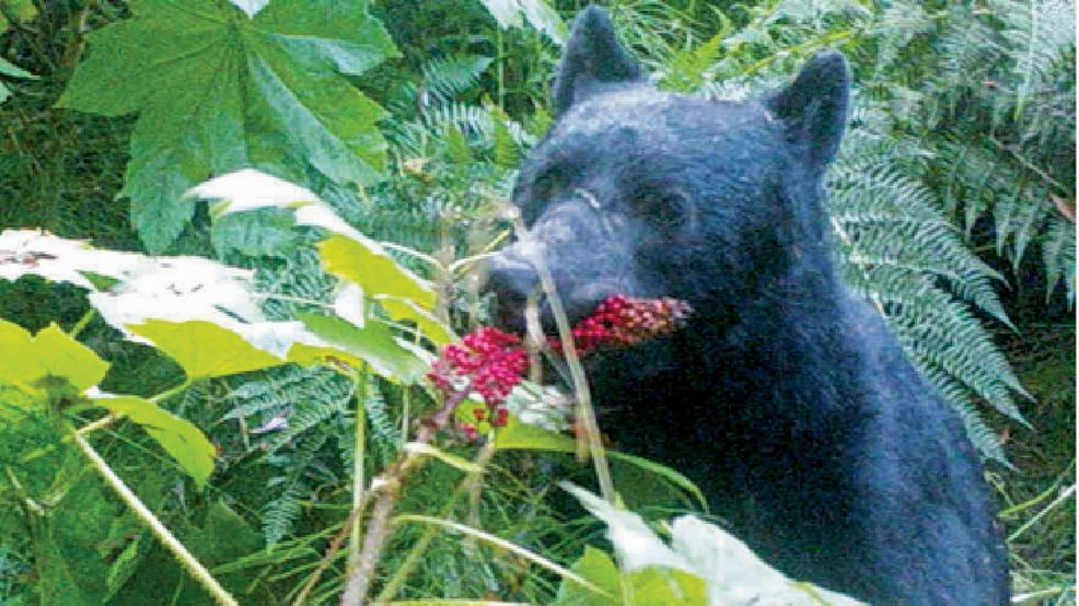 What does a bear do in the Alaska woods? Disperse seeds https://t.co/znaLV8yoG6