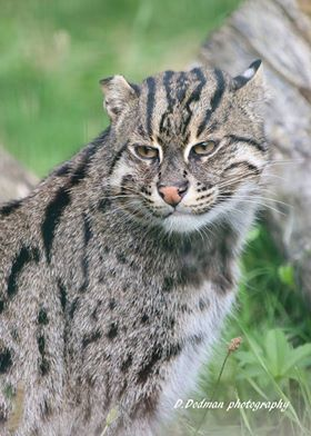 #Pictureoftheday is #FishingCat Aquarius...