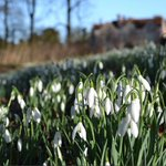 Image for the Tweet beginning: This Sunday is our Snowdrop