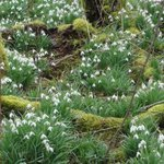 Image for the Tweet beginning: Delighted to find bare-root #snowdrops