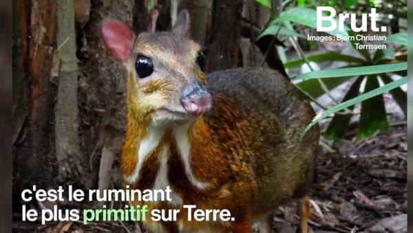 Le cerf-souris, le ruminant le plus primitif sur Terre https://t.co/fL6EpD7Ouu #Afrique #Asie