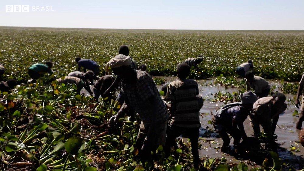 Etiópia luta para salvar maior lago do país de espécie invasora originária do Brasil https://t.co/Gt6VDkRvnF #G1