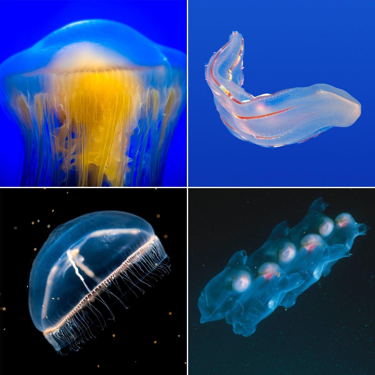 Gelata: Venusgürtel, Seewespe, Feuerwalze und Co