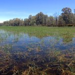 @tomchesson01 @VicEWH @theCEWH @northcentralcma Floating Swamp Wallaby-grass (Amphibromus fluitans) officially going off according to an ecologist. We had this happening in exclusion plots before we removed the carp. It's everywhere now!
