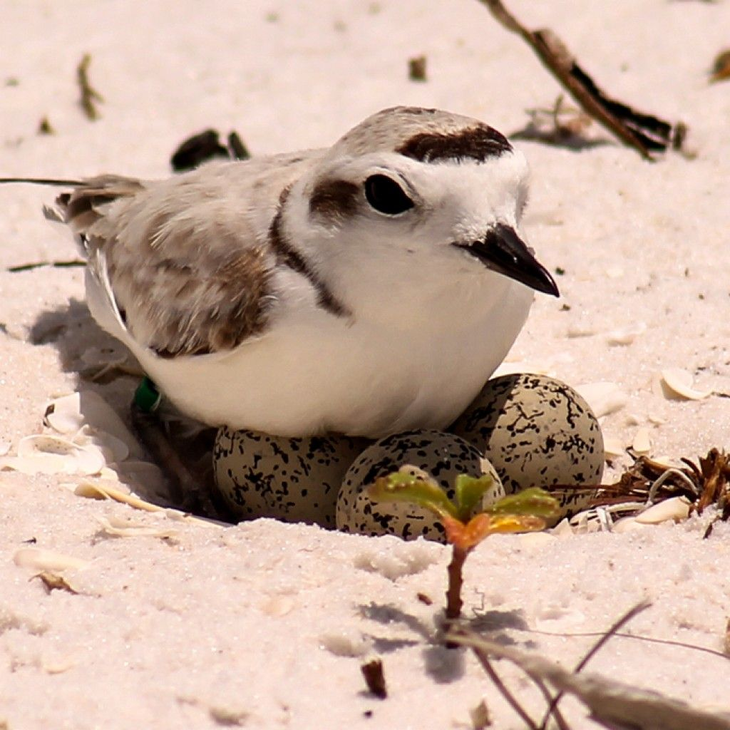 Migratory birds need your help today! Tell government decision makers to keep the Migratory Bird Treaty Act strong: buff.ly/2EABiQ0 #savetheMBTA (Photo: Snowy Plover by Kacy Ray)