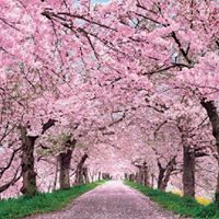 test Twitter Media - This could be fairy land, but it's real! The magic and beauty of nature! #cherryblossoms #trees #naturelover https://t.co/R6AgN270lT
