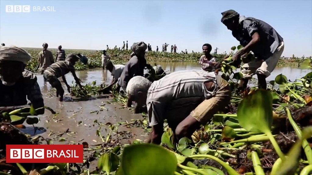 #BBCCurtas Etiópia luta para salvar maior lago do país de espécie invasora originária do Brasil https://t.co/mqfP5Al254
