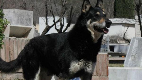 Murió 'Capitán', el perro cordobés que visitó la tumba de su dueño durante casi 11 años https://t.co/7WSnaUQ70I