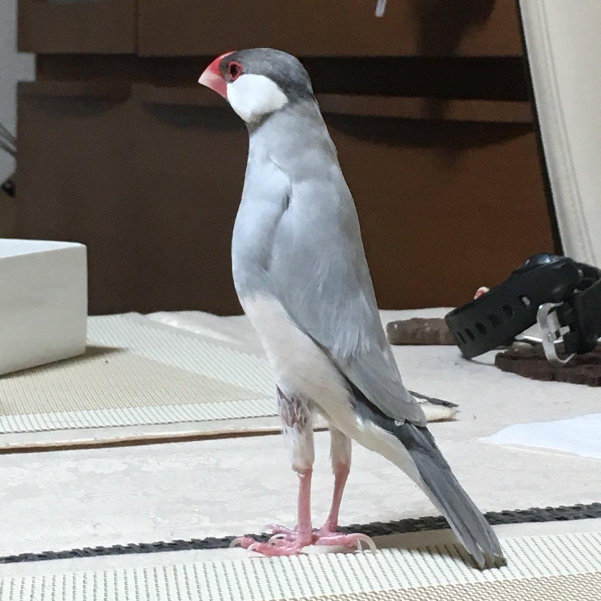 ウチのモモヒキ王子🤴 #ふろしき文鳥スタイル