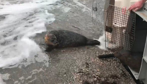 WATCH: Seals rescued on IoM released back into wild  https://t.co/qPcPUGZdgj