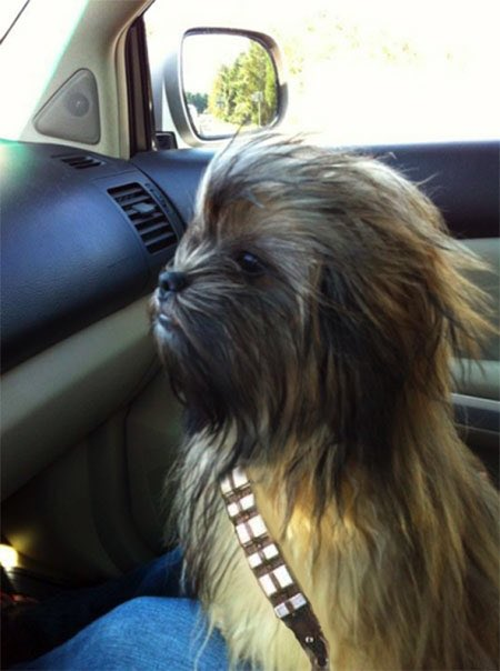 This little guy looks just like Chewie!  #LoveYourPetDay