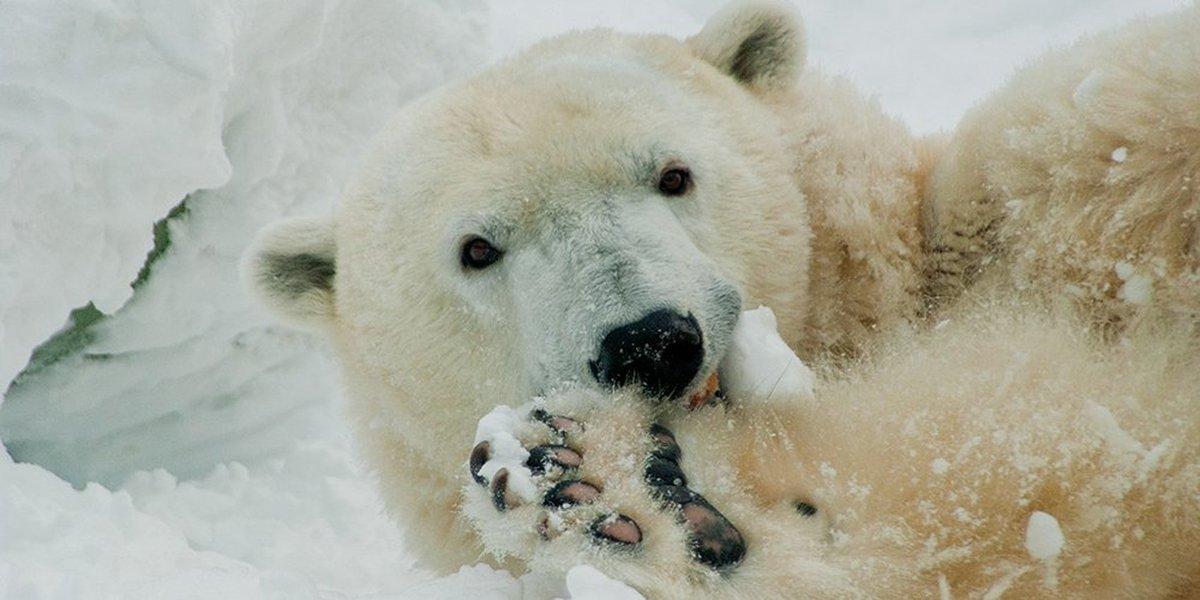 Ursa polar Coldilocks morre aos 37 anos nos EUA https://t.co/V1WaPtfEdG #G1
