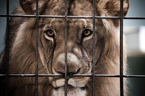 中国の動物園で「自分の尻尾を噛みちぎった」ライオン ――痩せたライオンが尻尾に血を滲ませたまま歩き回っているのはおかしい https://t.co/0V4v5Y6X5p #中国 #動物 #動物園 #ライオン