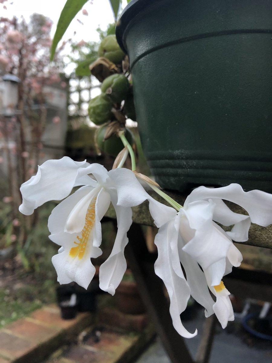 Outdoororchidlondon On Twitter Coelogyne Cristata Flowering Now