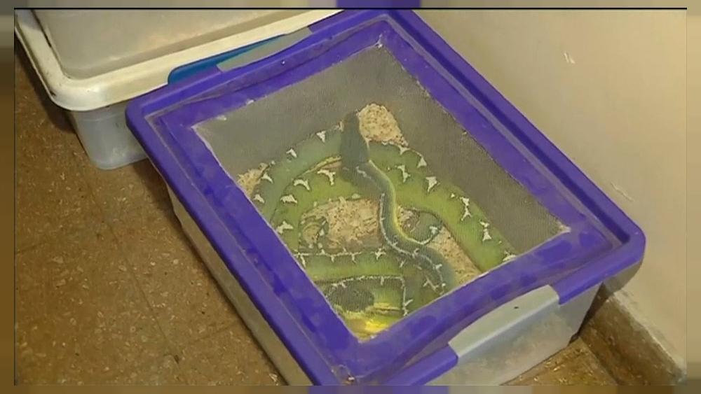 Halladas 219 serpientes en un piso de Bu...