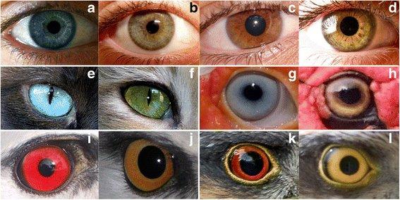 人間の「瞳の色」はでは非常にバリエーション豊かだし、飼い猫などの動物も様々な瞳の色が人気だが、実は瞳の色にバリエーションがあるのはヒトと家畜化された動物のみ。野生動物の瞳の色は種ごとにほぼ固定。  ほえー、知らなかったし、今まで全く気付かなんだ。1/ blogs.biomedcentral.com/on-biology/201…