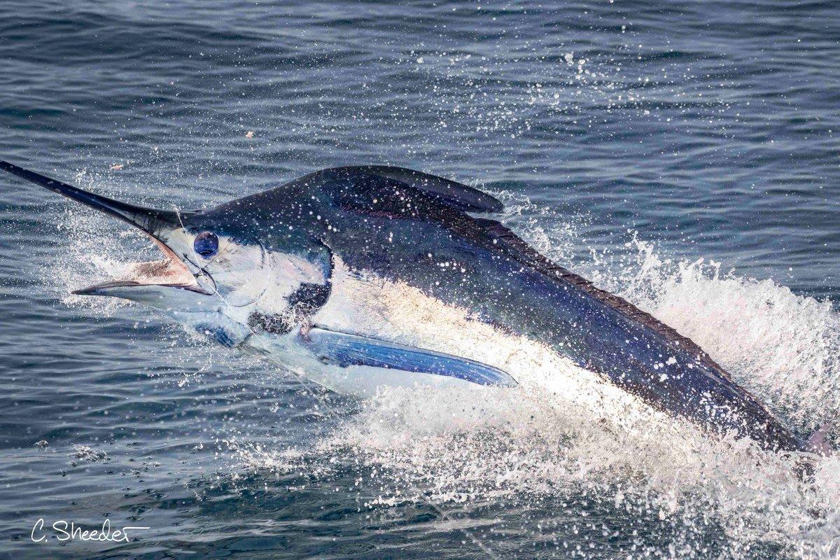 Guatemala - Capt. Chris Sheeder released a Blue Marlin.