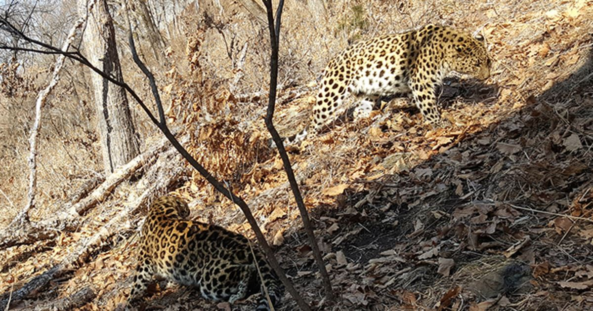 В Приморье леопард из Чехии не принял самку с Украины — видео: https://t.co/Yu0ksE47VW