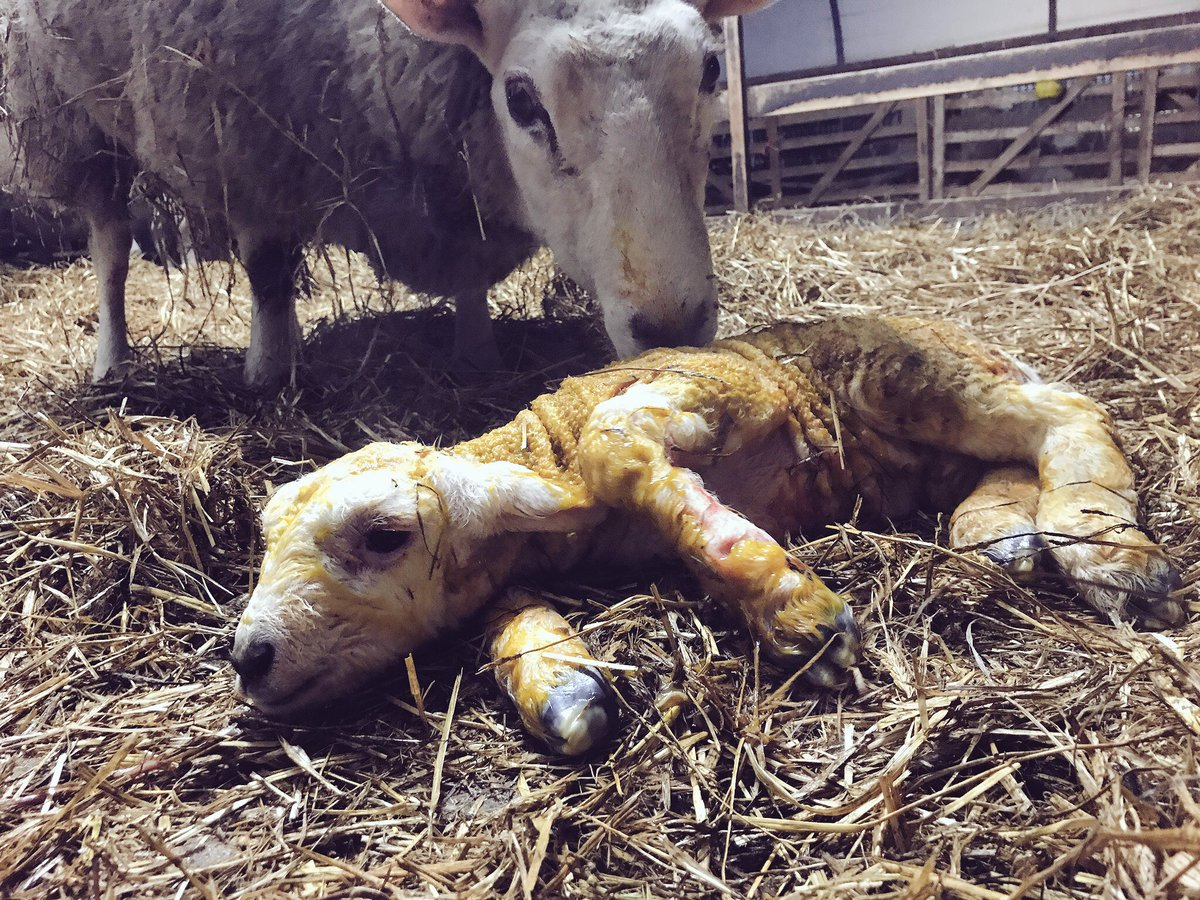 Good morning from the lambing shed! http...