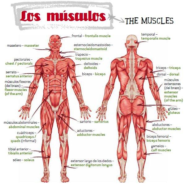 Results for Imagen De Musculos Del Cuerpo Humano En Ingles