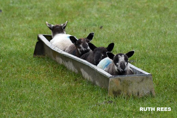 Welsh bobsleigh team #olympics#lambs#wai...