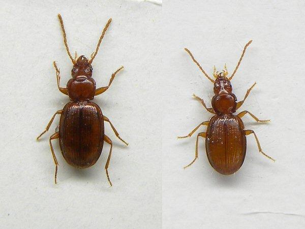 チョウセンメクラチビゴミムシ属