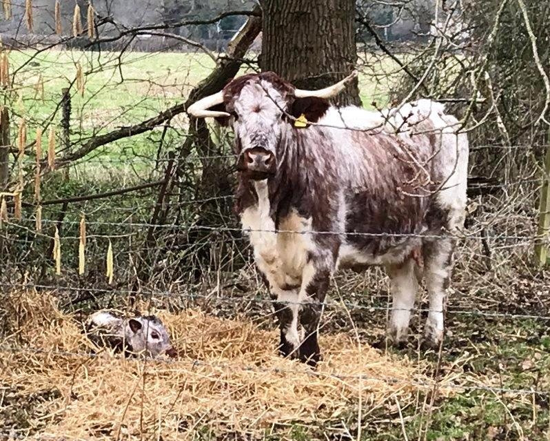 Say hi to the 4th calf born to the Loseley Longhorn herd. Proud mum is Norma Jean but we don't yet know whether her off-spring is a boy or girl. A little star, whichever it is! The older calves were all very curious about the new arrival! @SurreyLife @GuildfordTIC @LonghornOffice
