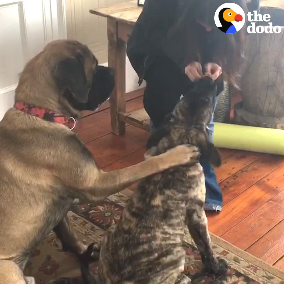This puppy doesn't know 'sit' yet, but his older brother has the CUTEST way of teaching him ❤️