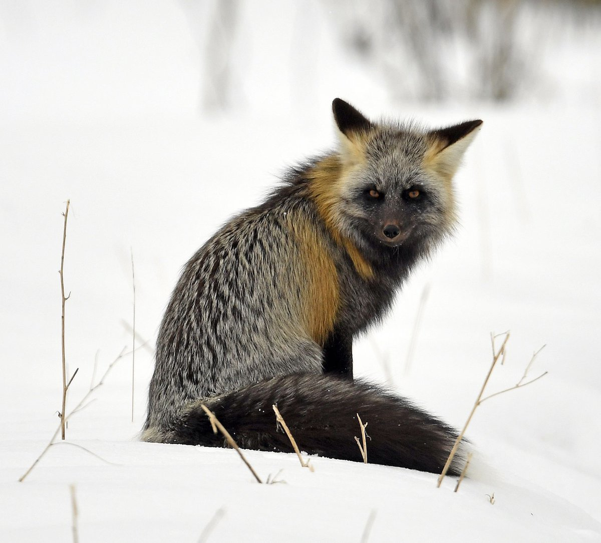 Jackson Hole nature painter Sonia Reid took this amazing photo of a mountain fox in Grand Teton National Park this week. Check out Sonias paintings at soniareid.com