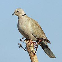Common Name: Eurasian Collared-Dove Scie...