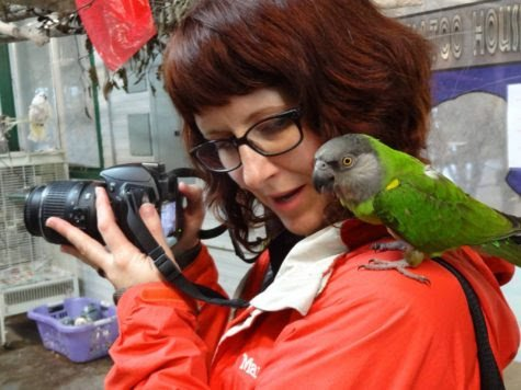 THE CAROLINA PARAKEET WENT EXTINCT 100 years ago today. Author and wildlife artist Kate Garchinksy (@katesnowbird) tells the story in this poignant essay at The @ABA Blog: tinyurl.com/yckq23h7