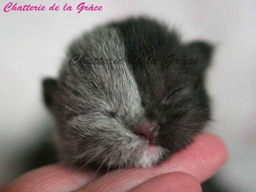フランス在住、ブラック&グレーの美しいブリティッシュショートヘアのキメラ猫Narniaさん。2017年3月28日に誕生し、その成長した姿も美しい。boredpanda.com/two-faced-cat-…