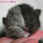 フランス在住、ブラック&グレーの美しいブリティッシュショートヘアのキメラ猫