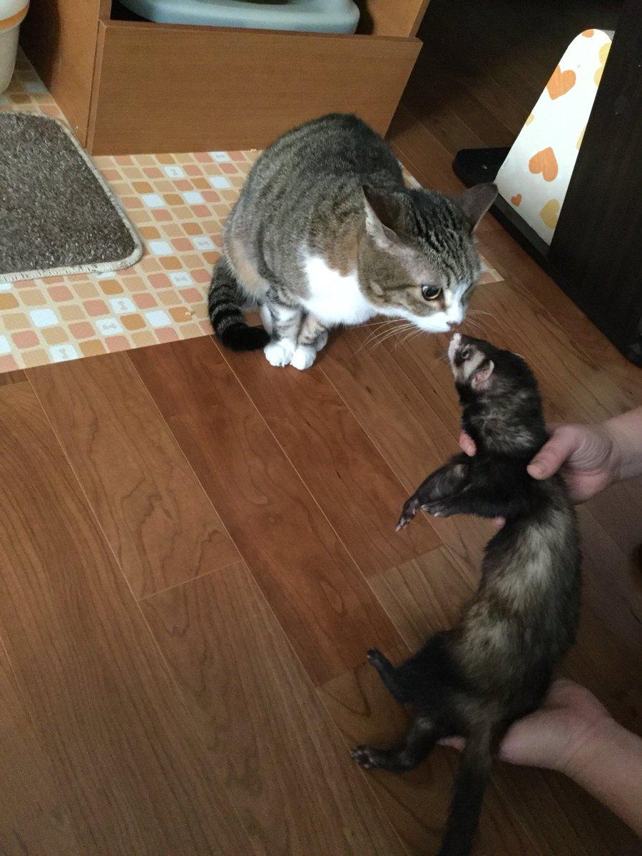 猫も犬も嫌いなぶーこさんだけどイタチにだけは興味津々でウエルカムムード。10年以上前に一緒に暮らしたイタチの兄貴のこと覚えてるの?