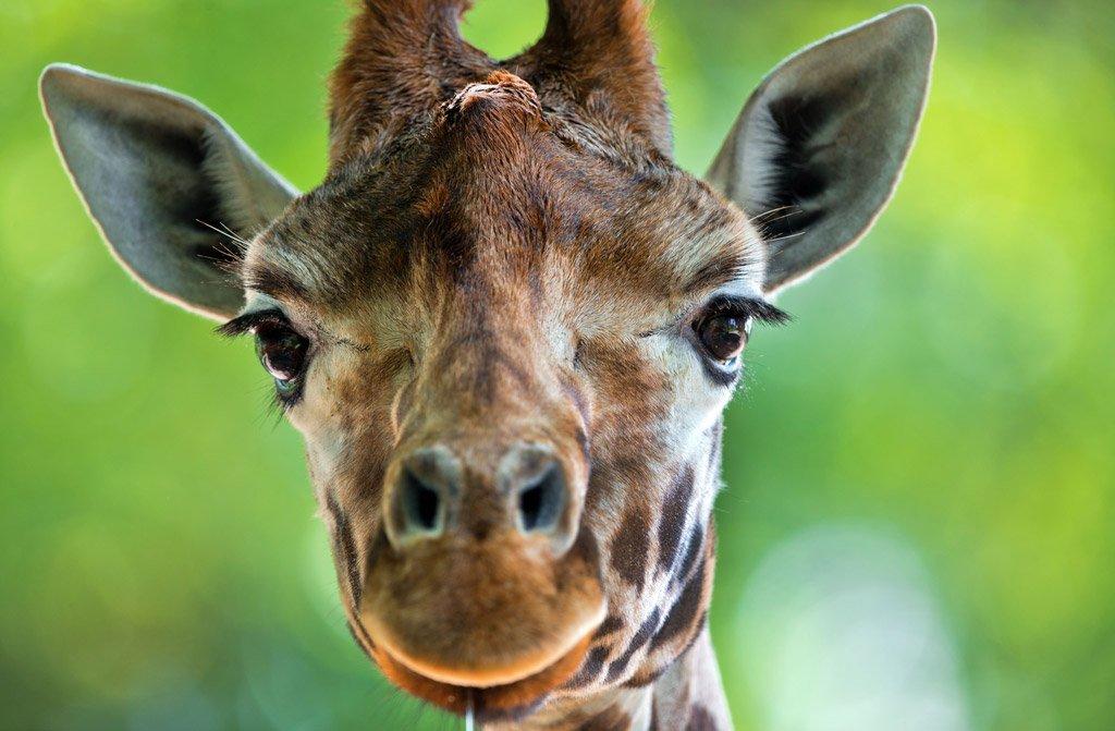 #Comprendre 🦒La girafe, un des plus grands animaux terrestres, rejoint le cercle fermé des espèces menacées.▼ https://t.co/SqQfctorO6